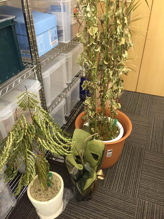 三豊市オフィス観葉植物回収前